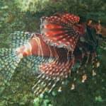Feuerfish am Hausriff North Bali Divecenter